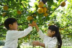 千葉県で梨狩りができる農園は?おすすめの時期や持ち物もご紹介!