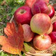 長野県でおすすめのりんご狩り農園はココ!あると便利な持ち物も紹介