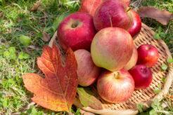 長野県でおすすめのりんご狩り農園はココだ!あると便利な持ち物もご紹介