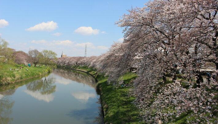 北越谷元荒川堤 桜