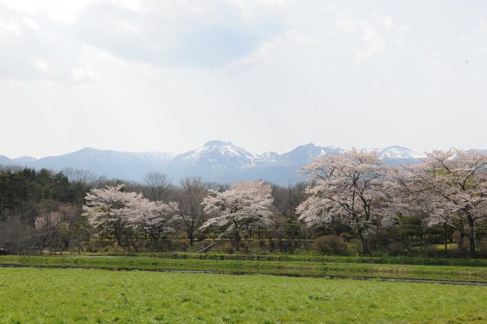 那須高原 桜