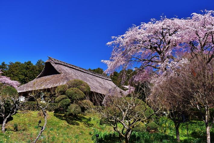 秩父宮記念公園 桜
