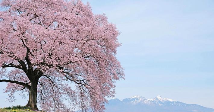 八ヶ岳 桜