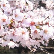 【最新】関東圏のお花見ドライブコース18選!桜の見頃の最新情報と名所も紹介!